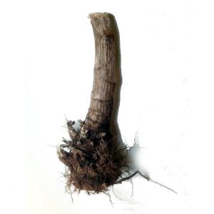 Plantel de alcachofa Benicarló (esqueje)