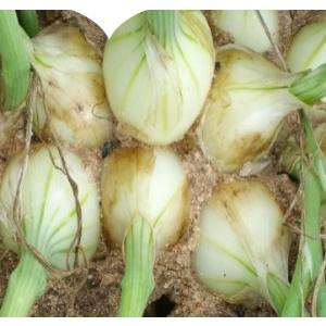 Micro bulbos de cebolla