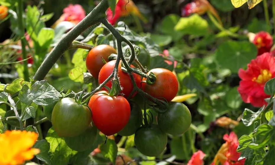 Tomateras