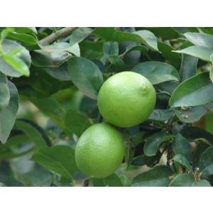 árbol lima bears (citrus latifolia)