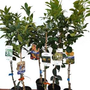 Árbol cítrico citrus sinensis (naranjo)