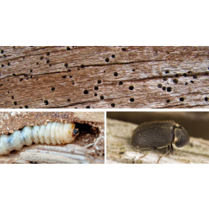 Carcoma, agujero en los muebles debido a la carcoma y aspectos físicos del insecto y larva