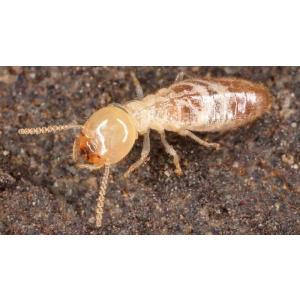 Termita, aspecto físico de una termita común