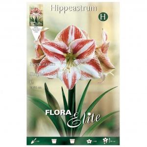 Bulbos Amarilis Hippeastrum Striped Elite