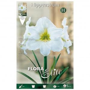 Bulbos Amarilis Hippeastrum White Elite