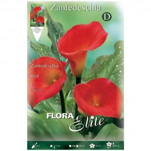 Bulbos Calla Red Elite Zantedeschia