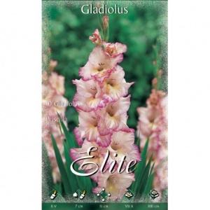 Bulbos Gladiolo Priscila Elite