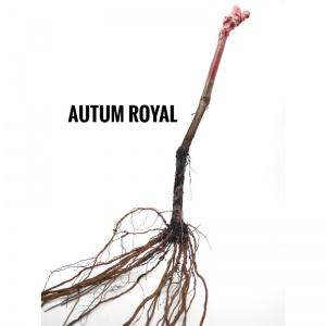 Parra de uvas Autumn Royal sin semillas