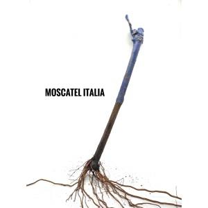 Parra de uva Moscatel Italia