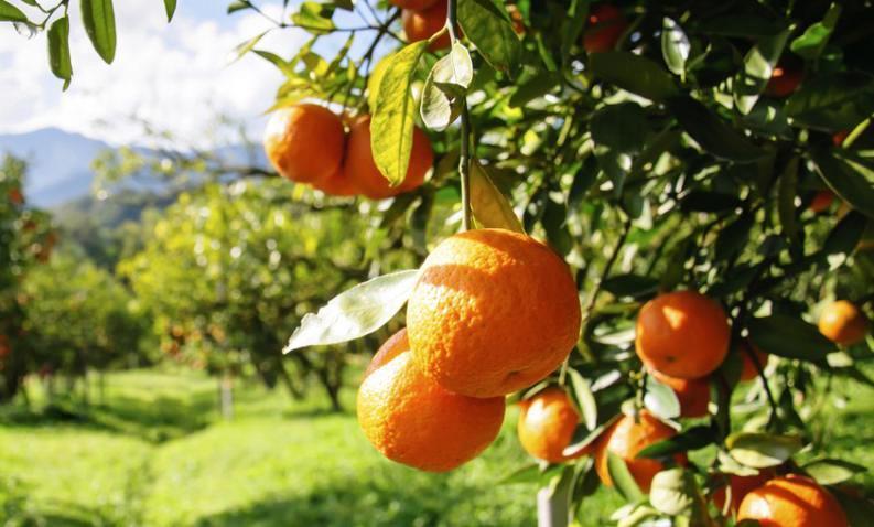 imagen-citricos